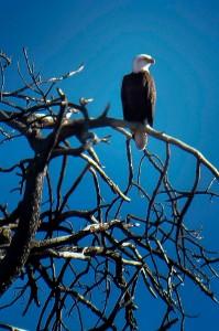 eagle_PS_1