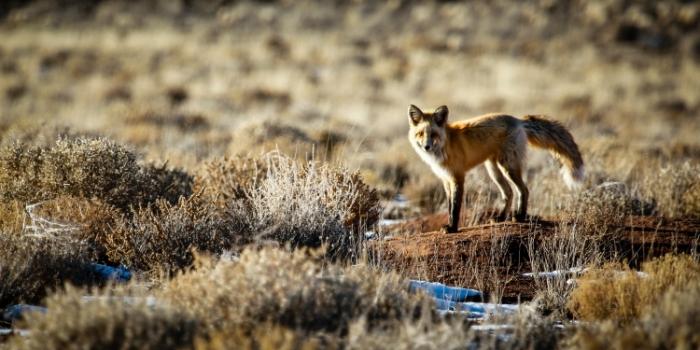 foxlookPSi