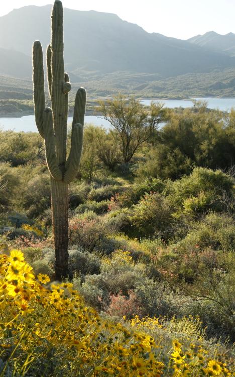 flowers cactus mergedii