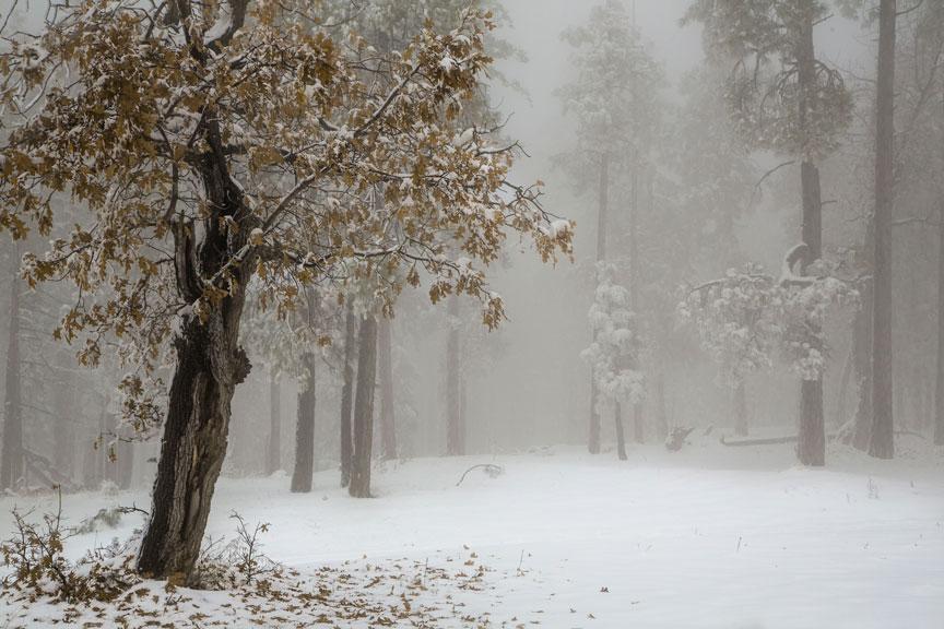 fog-oak-backPSi