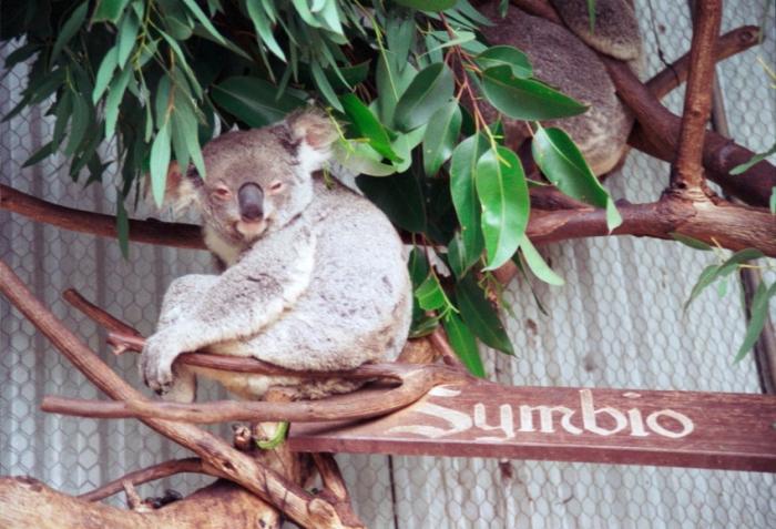 symbio koalai.JPG