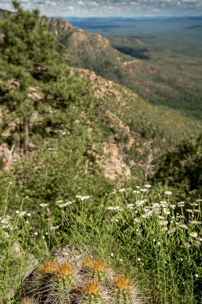cactus daisies_IR.jpg