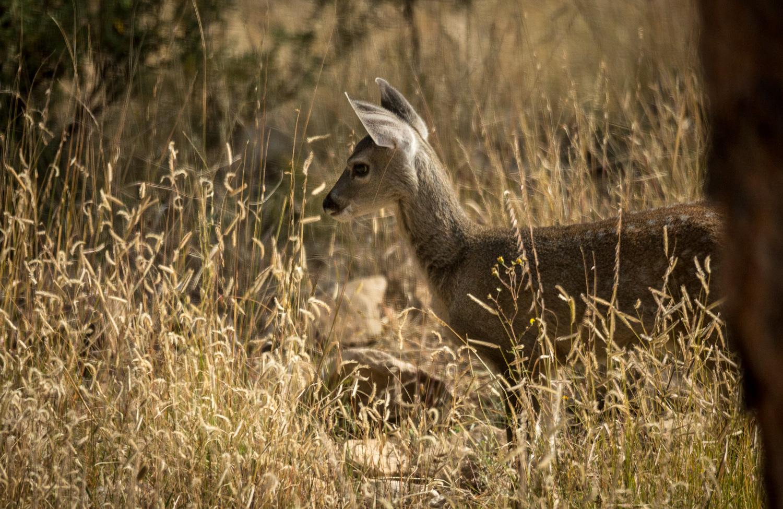 baby deer look_IR.jpg