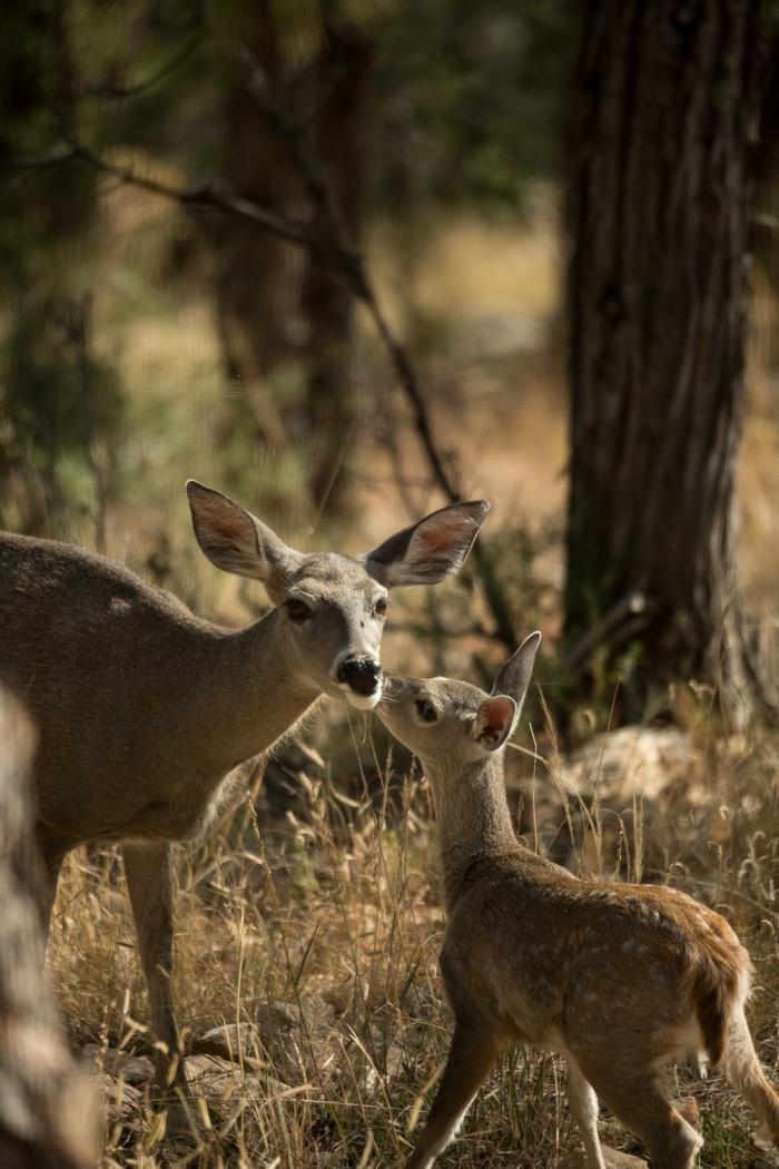 deer peck1_IR.jpg
