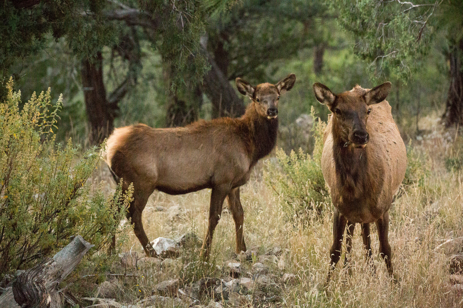 elk yearling _IR.jpg