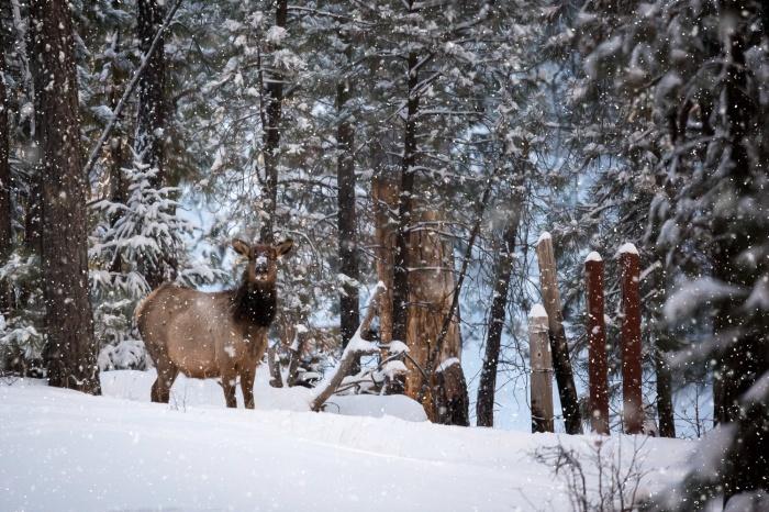 elk snow_PS_IR.jpg