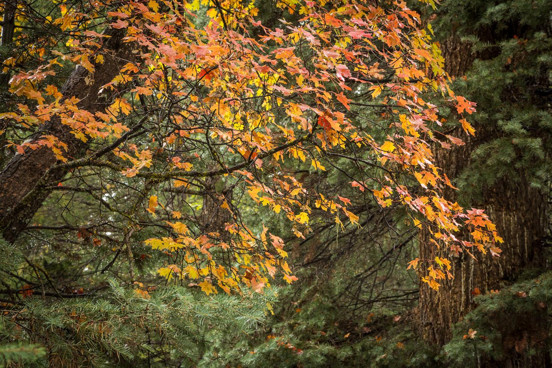 RedMaple Pine_IR-2.jpg