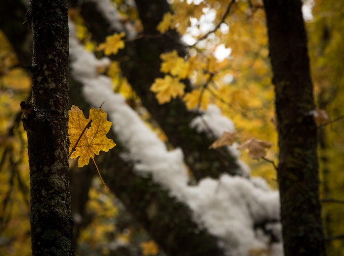 Yellow Maple Snow_IR.jpg