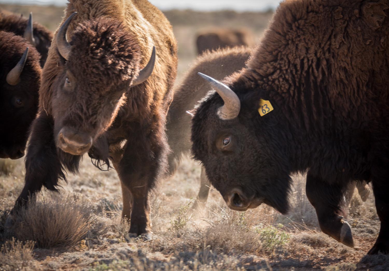 bison fight_IR.jpg