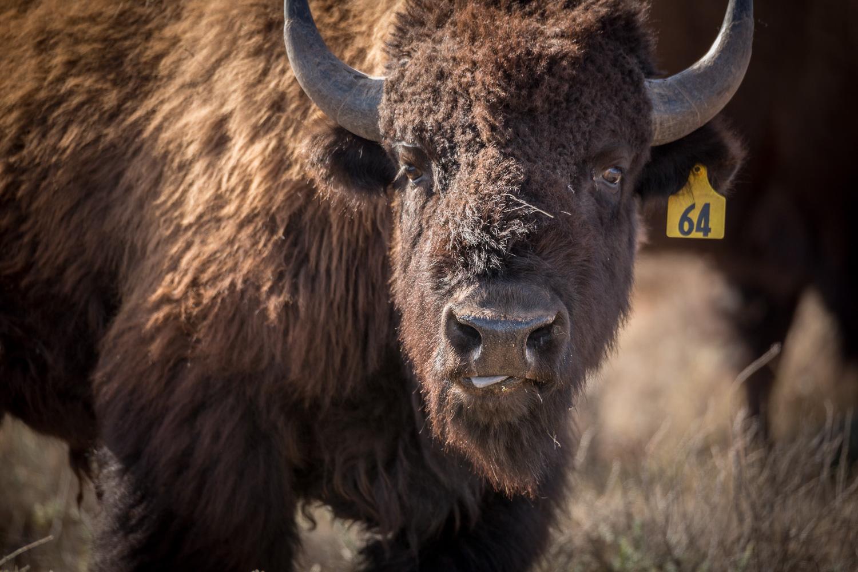 bison64 face_IR.jpg