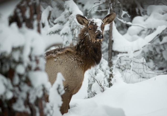 snowyelkface_IR.jpg