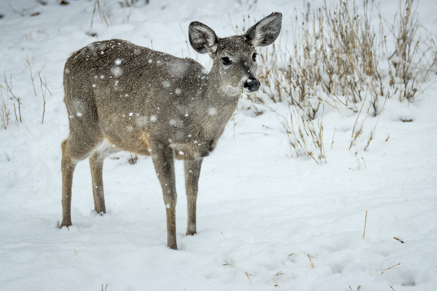 Deer Snow_IR.jpg